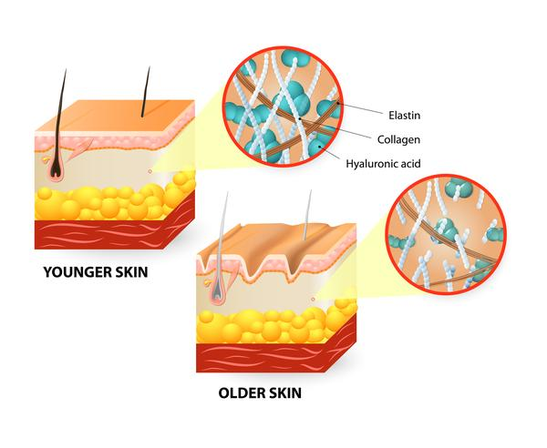 Visual representation of skin changes over a lifetime and how they contribute to fine lines & wrinkles